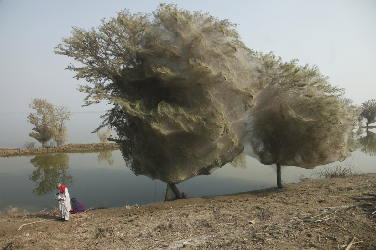 An unexpected side-effect of the flooding in parts of Pakistan has been that millions of spiders climbed up into the trees to