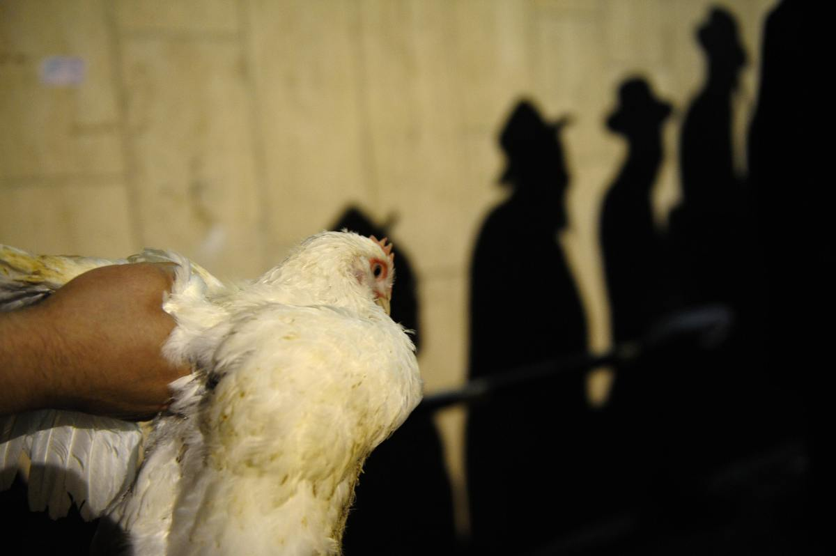 A Haredi Jew holds a chicken during the Kaparot ceremony in the costal city of Ashdod, Israel. The Jewish ritual, which invol