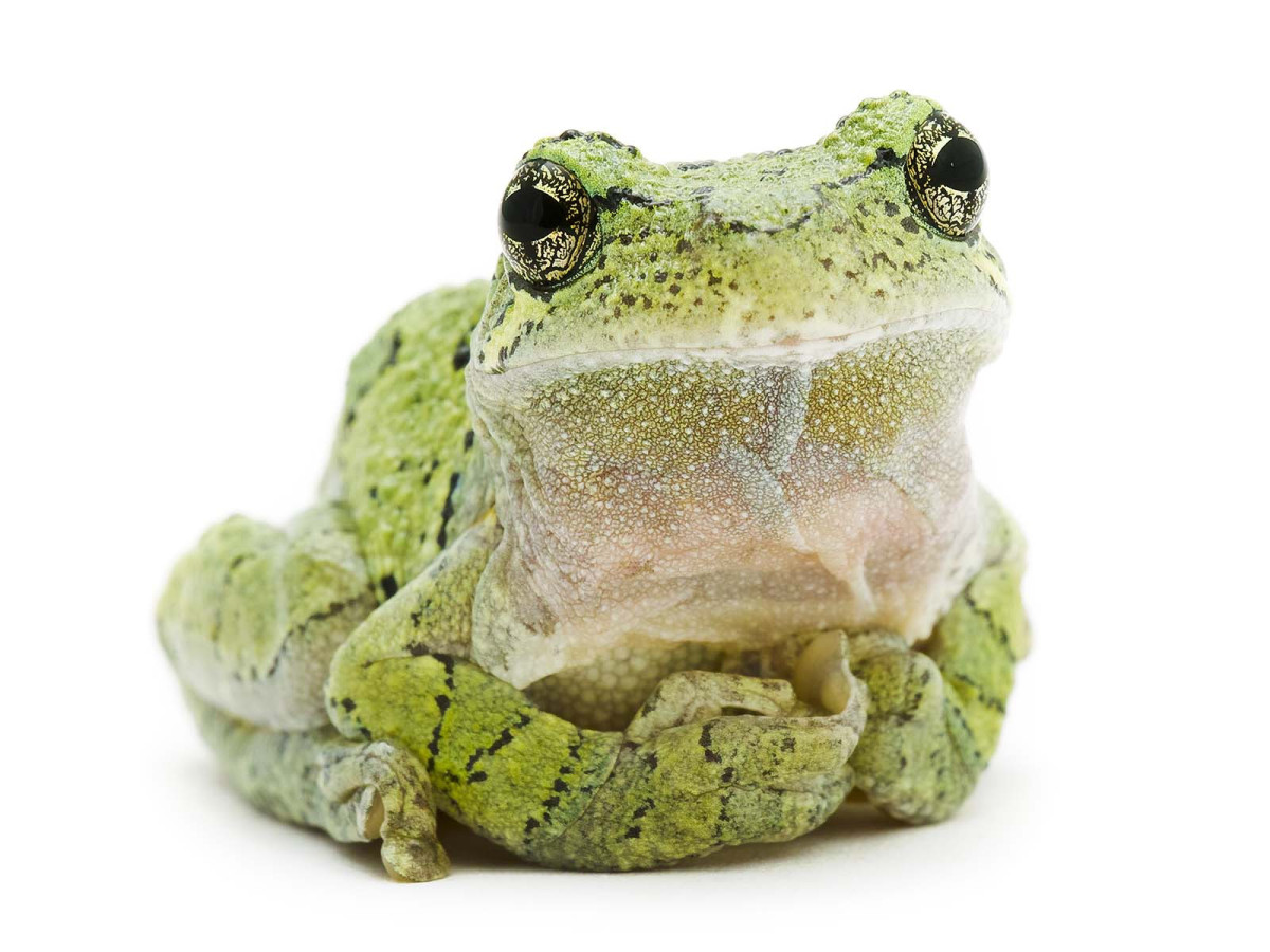 "Gray Treefrog by Sigma Pro Photographer David FitzSimmons, from his ""Curious Critters"" children's picture book."