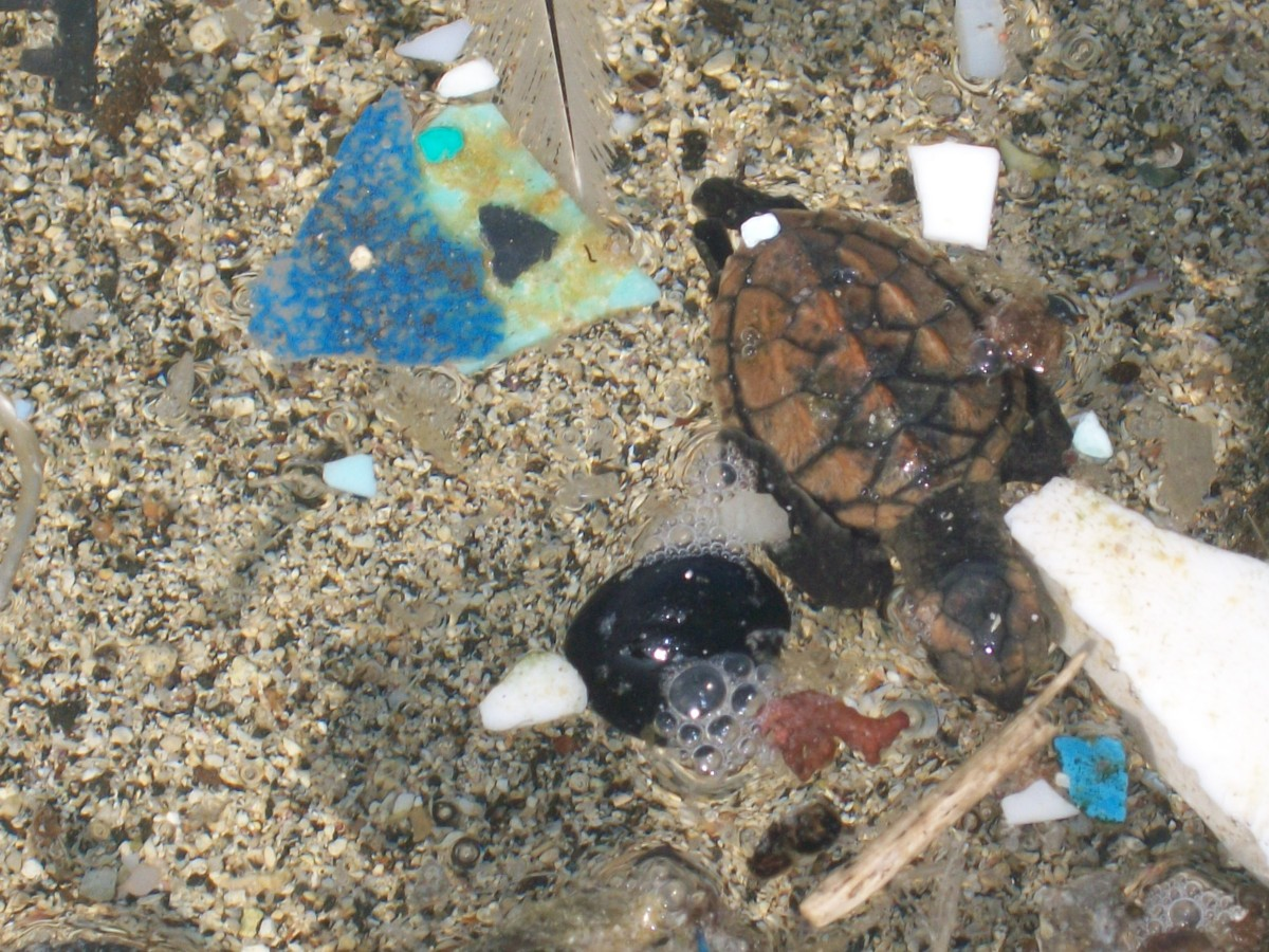 Baby sea turtle, on its way out to sea, navigating plastic at Kamilo Beach, 2009