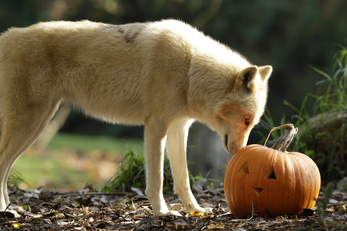 A wolf takes a look at a Halloween pumpkin, Thursday, Oct. 27, 2011, at the Woodland Park Zoo in Seattle. Animals at the zoo