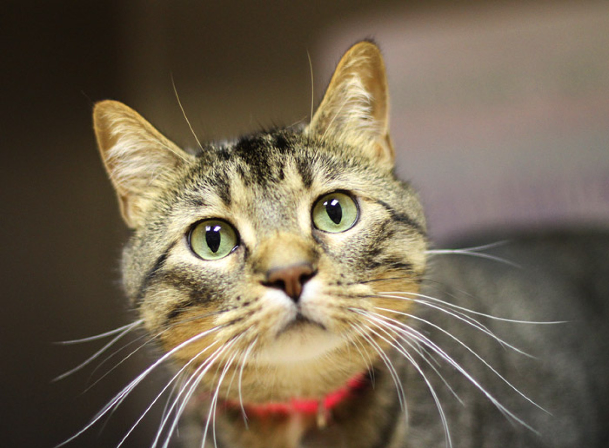 Nutmeg is a 3-year old brown tabby with a lot of spunk. She'll let you know when her food bowl is empty or when she'd like to