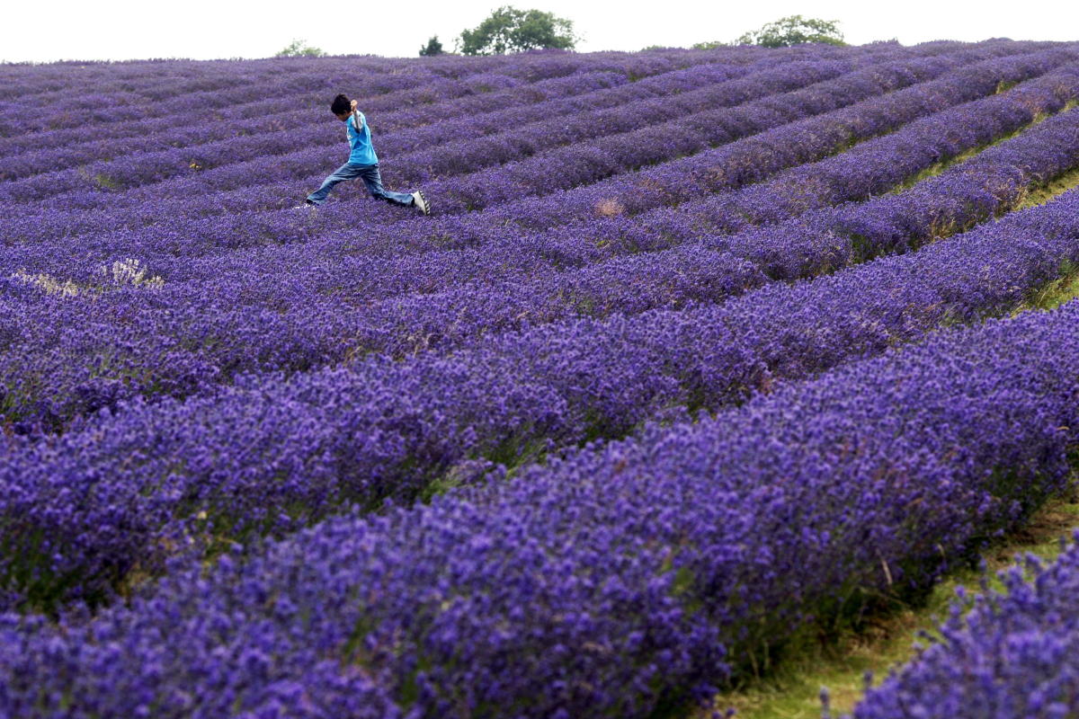 A boy jumps over a row of lavender in a field in Carshalton, south London, Wednesday, July 22, 2009. (Sang Tan, AP)