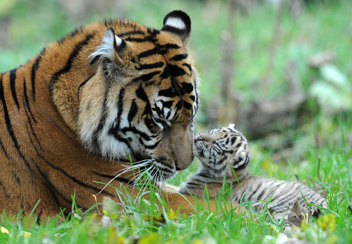 Sumatran Tiger Kirana with one of her three cubs as the youngster makes its first public appearance at Chester Zoo. Kirana nu