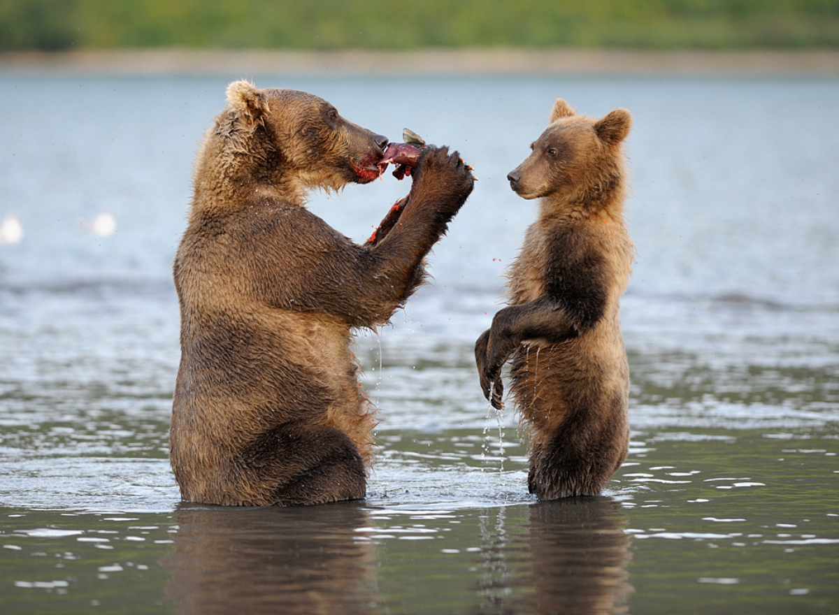 Mother and cub feeding on salmon in Kuril Lake