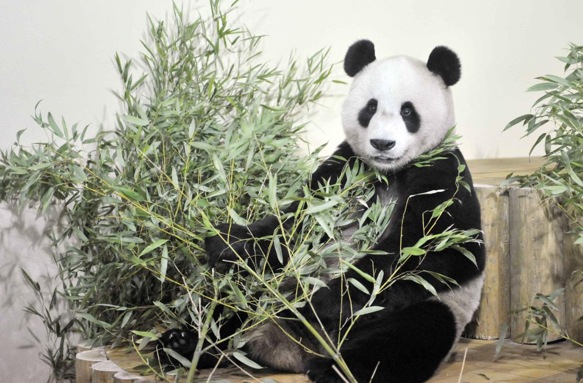 Yang Guang settles into his new home at Edinburgh Zoo on December 4, 2011 in Edinburgh, Scotland. Chinese Pandas Tian Tian an