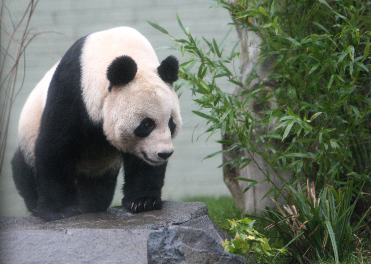 <em>From AP:</em> Giant panda named Tian Tian, explores her enclosure as the public look on for the first time at Edinburgh Z