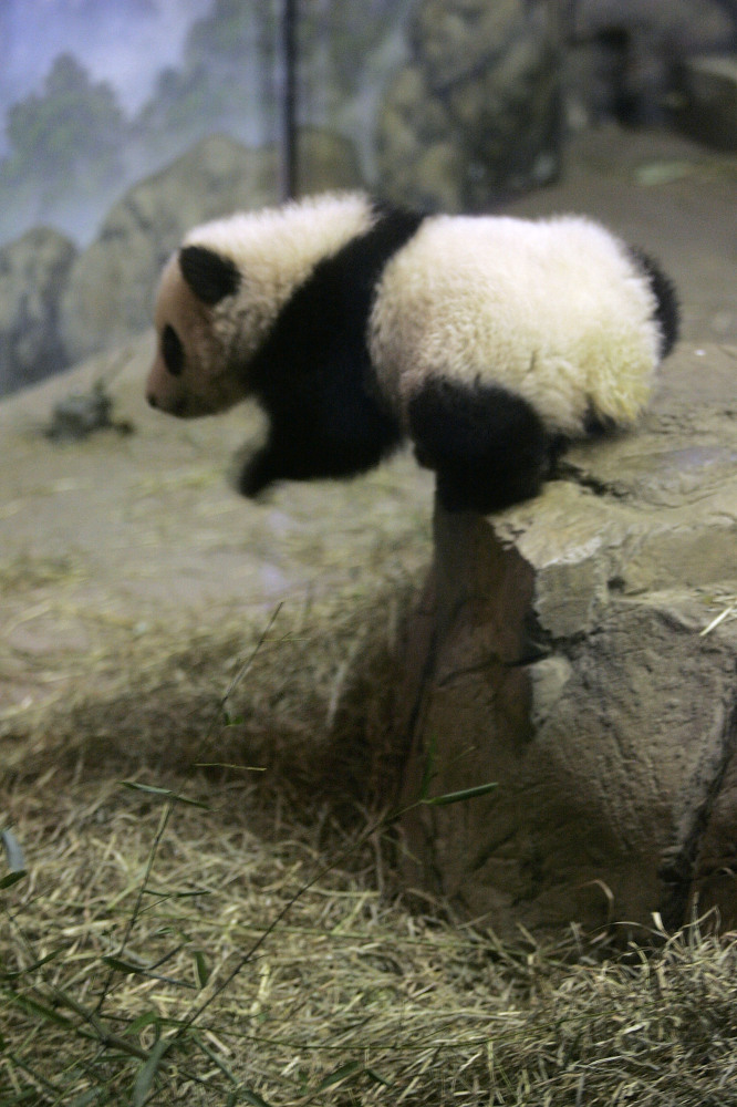Tai Shan takes a short plunge off the edge of a faux rock during his debut to the press November 29, 2005 at the National Zoo