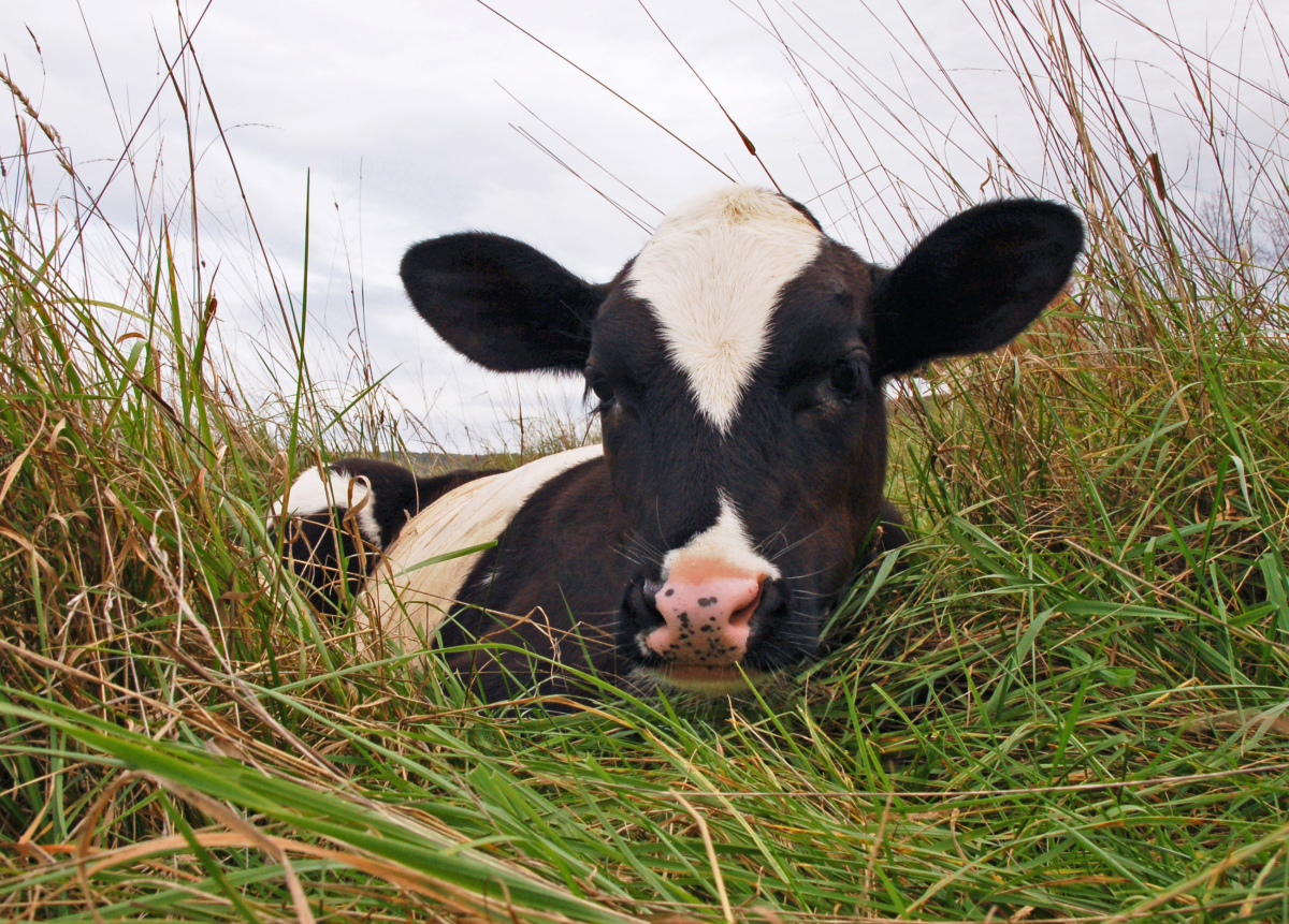This is Tweed, the tiniest of five recently rescued calves.  Once pneumonia-stricken and emaciated, these former cast-offs of