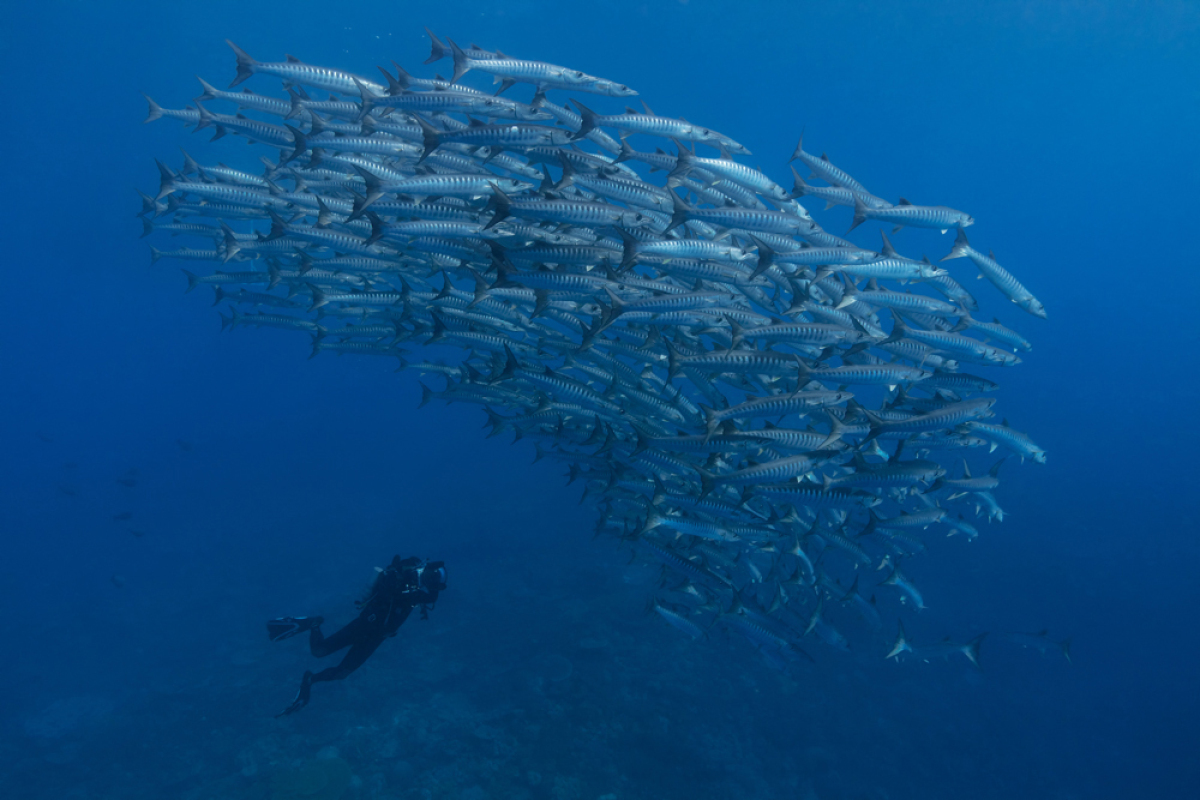 A diver chases Chevron Barracuda