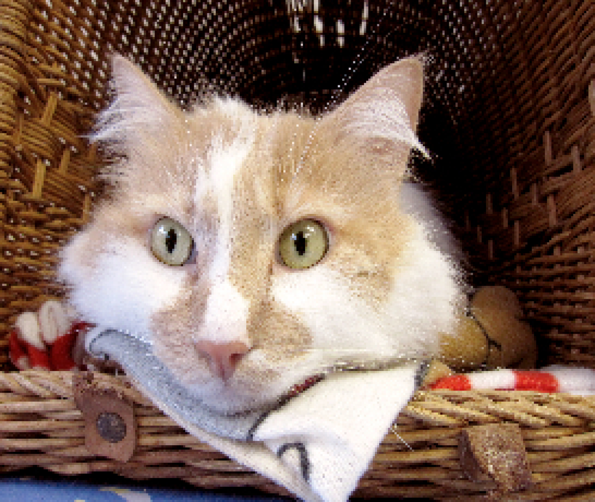 Apollo is a male, long-haired orange and white tabby. Apollo is extremely affectionate and will often follow a visitor around
