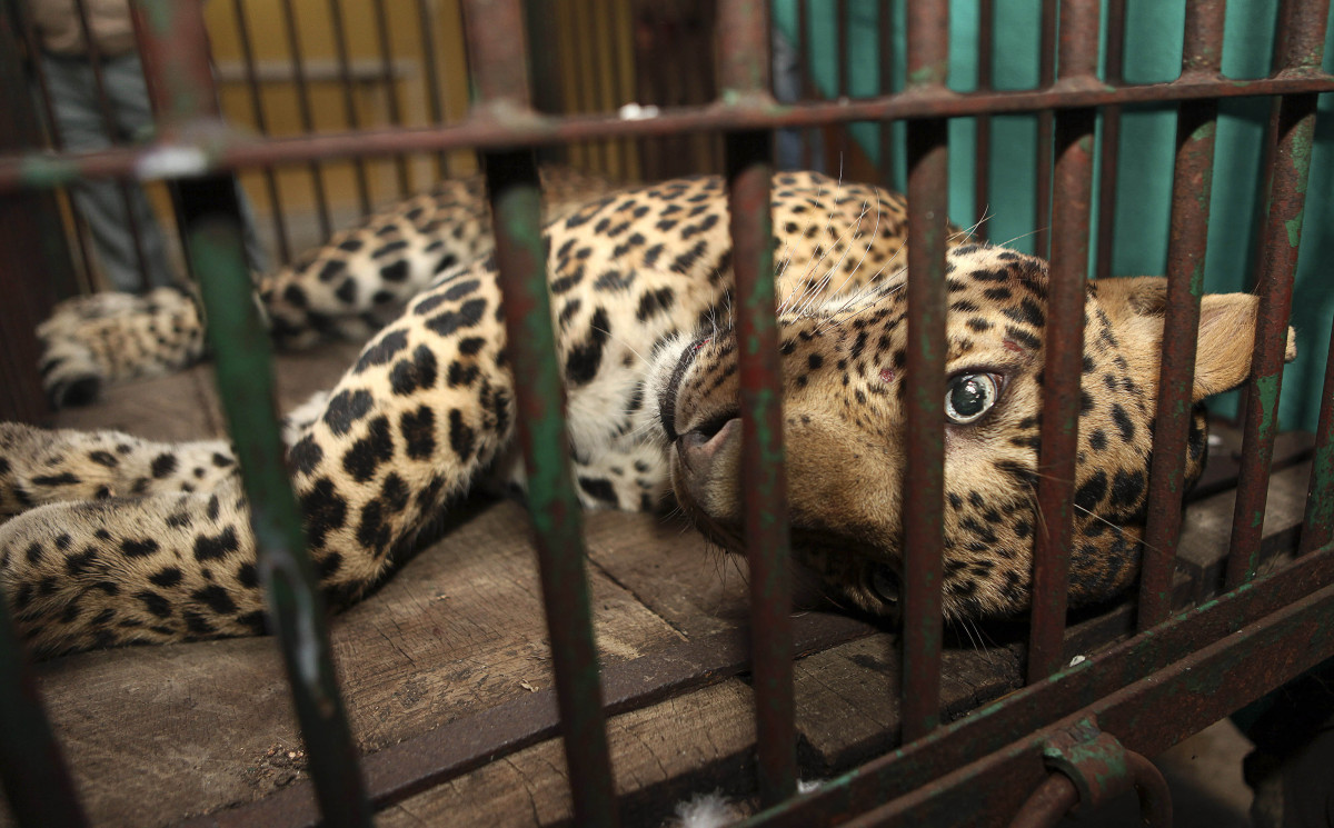 A full grown leopard lies in a cage after it was captured in Gauhati, India, Saturday, Jan. 7, 2012. The leopard ventured int