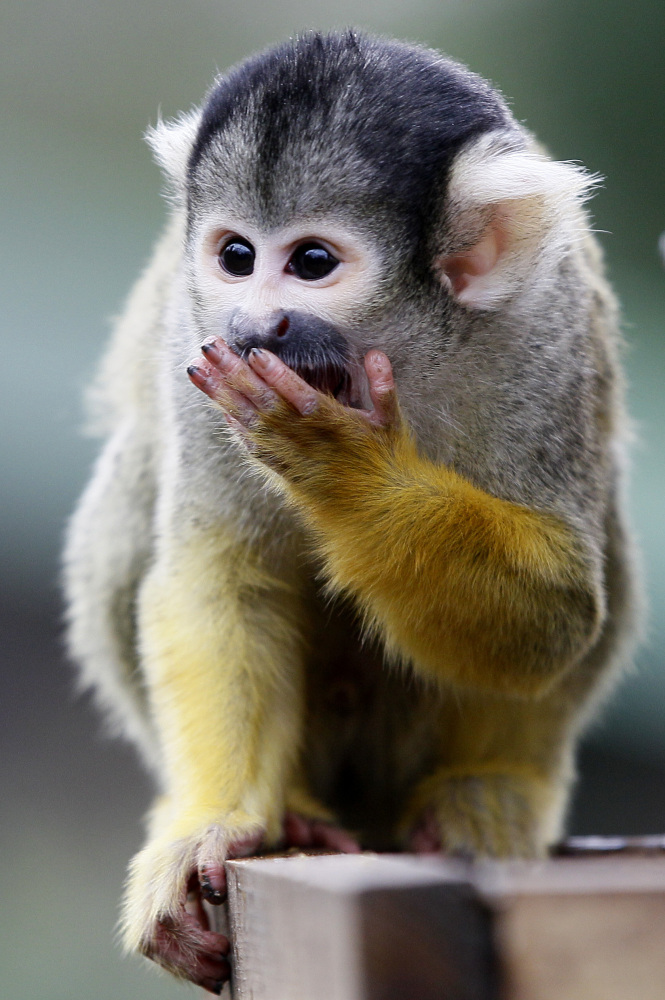 <em>From AP:</em> A squirrel monkey eats as he is counted at London Zoo in London, Wednesday, Jan. 4, 2012. The annual count