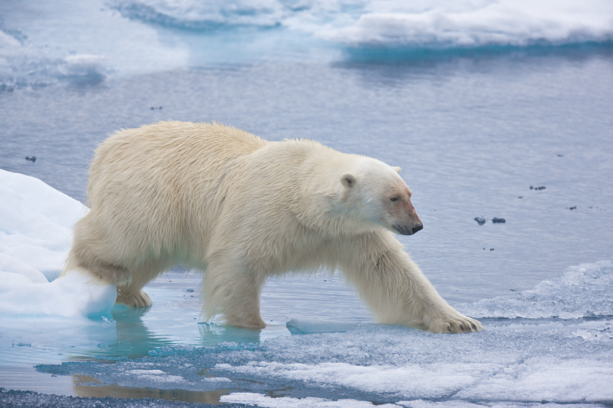 What Is The Weight Of A Polar Bear