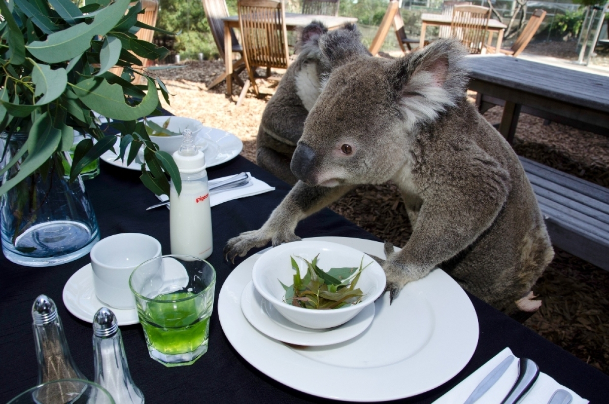<em>From Getty:</em> SYDNEY, AUSTRALIA - JANUARY 13: In this handout photo provided by Hausmann Communications, Koalas sit at