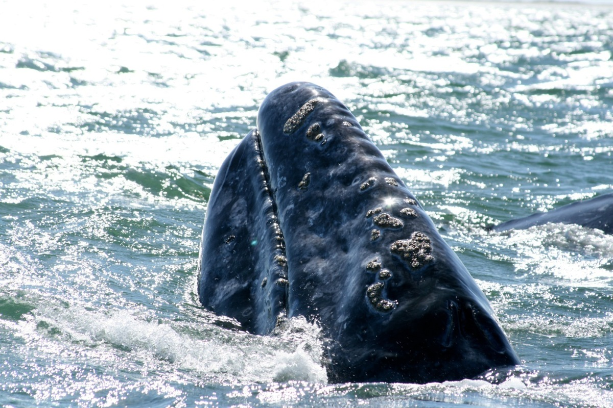 In 1988, an Inuit hunter came across three gray whales trapped in pack ice near Barrow, Alaska. What soon followed was a dram