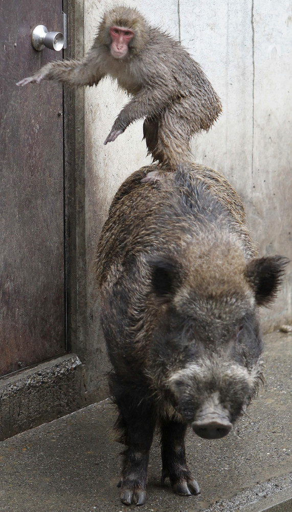 <em>From AP:</em> A Japanese macaque mounting Shishiro, a five-year-old Japanese wild boar, plays in their cage at Hamura Zoo