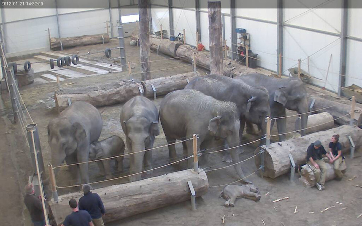The herd of elephants at the Hellabrunn Zoo in Munich, Germany say goodbye to Lola, the three-month old calf that died on Jan
