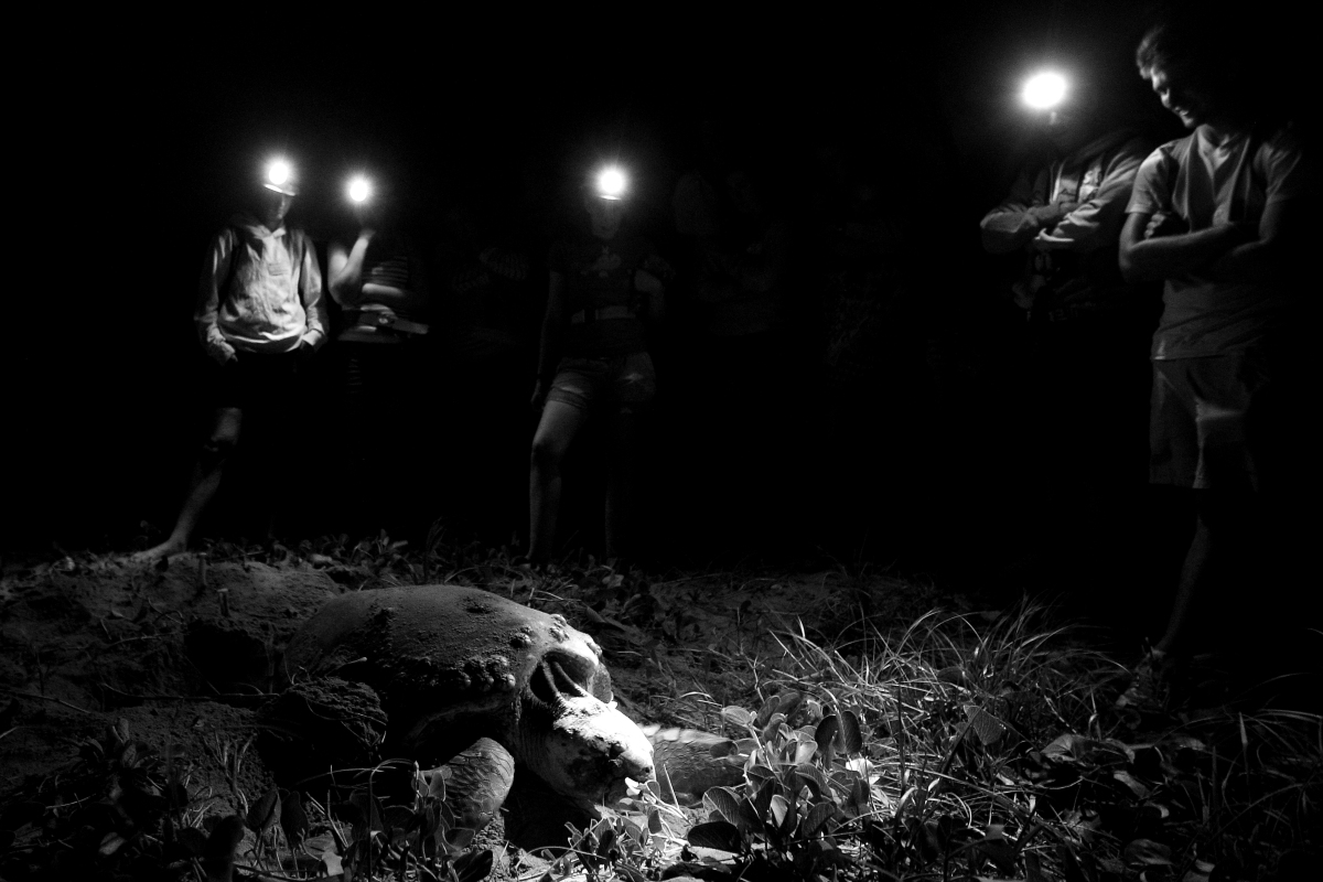 Visitors watch on as a female Loggerhead turtle returns to the ocean after laying eggs on Mon Repos beach on Jan. 13, 2011 ne