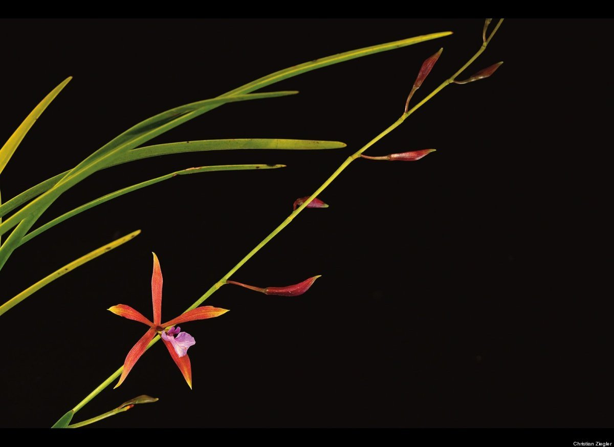 Portrait of <em>Encyclia bractescens</em>, a lowland orchid from Panama.