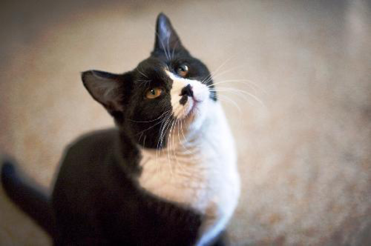 Popeye is a 1-3-year-old male domestic shorthair who got left behind an apartment complex when his people hitched town and to