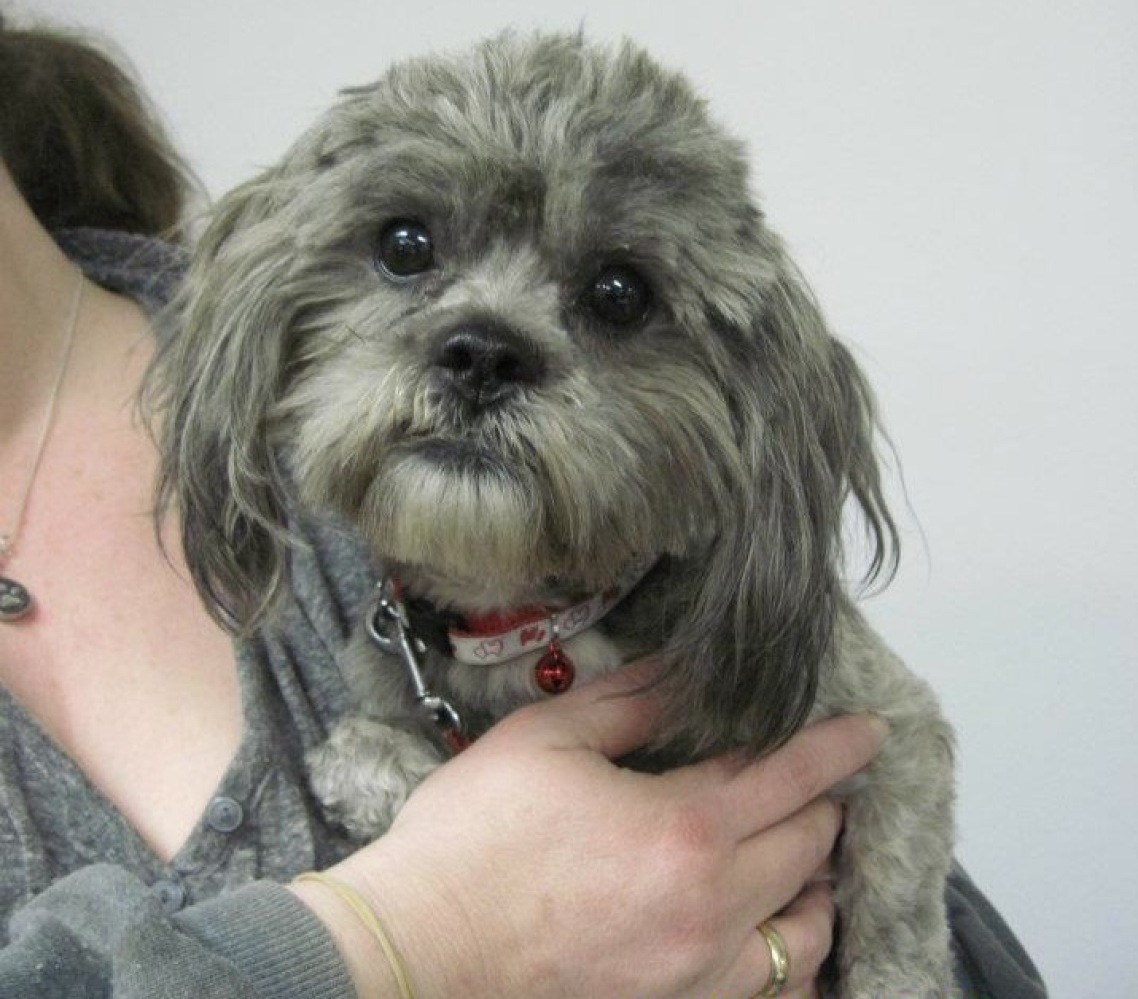 Smokey is a very handsome and friendly 3-year-old male Shih Tzu.  He was rescued from a hoarding situation. Smokey is a lovin