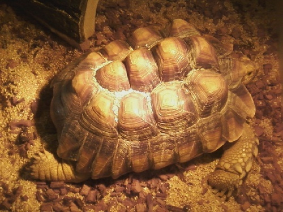"Einstein is a young female Sulcata tortoise. Find out more on Einstein's <a href=""http://www.petfinder.com/petdetail/20522830"