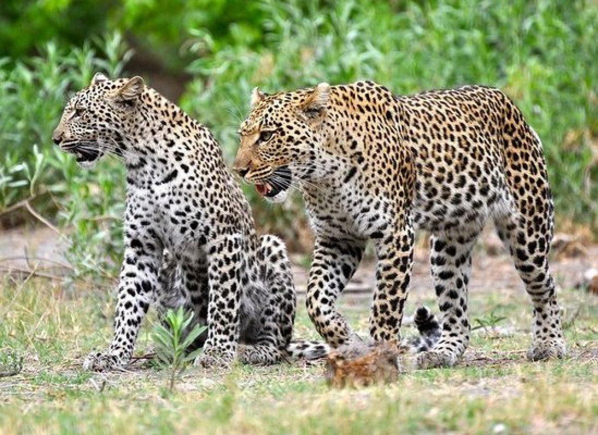 "Leopards outside of <a href=""http://www.andrewharper.com/hotels/great-plains-conservation-zarafa-camp"" target=""_hplink""><stro"