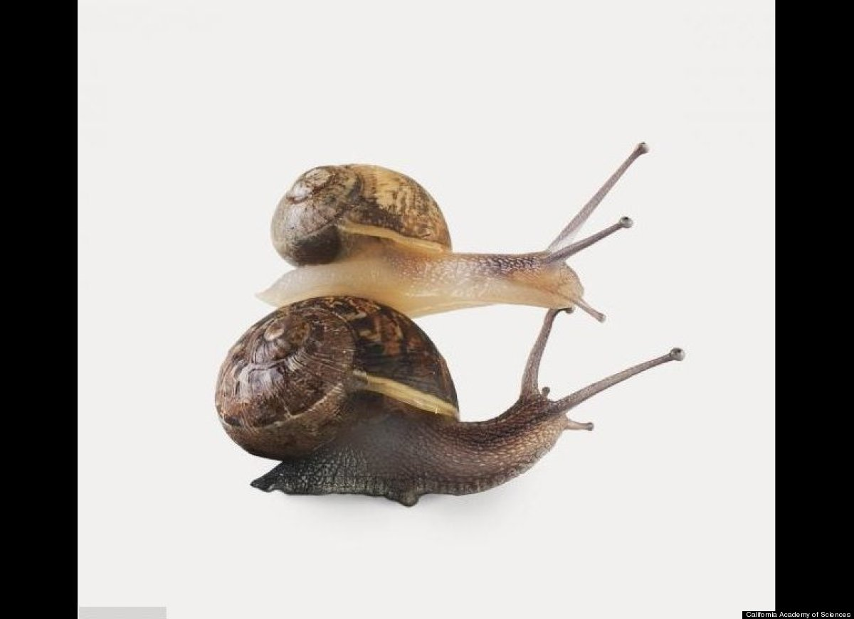 """Mating garden snails shoot long, sharp """"love darts"""" at one another prior to mating. When a dart hits its mark, it improves th"""
