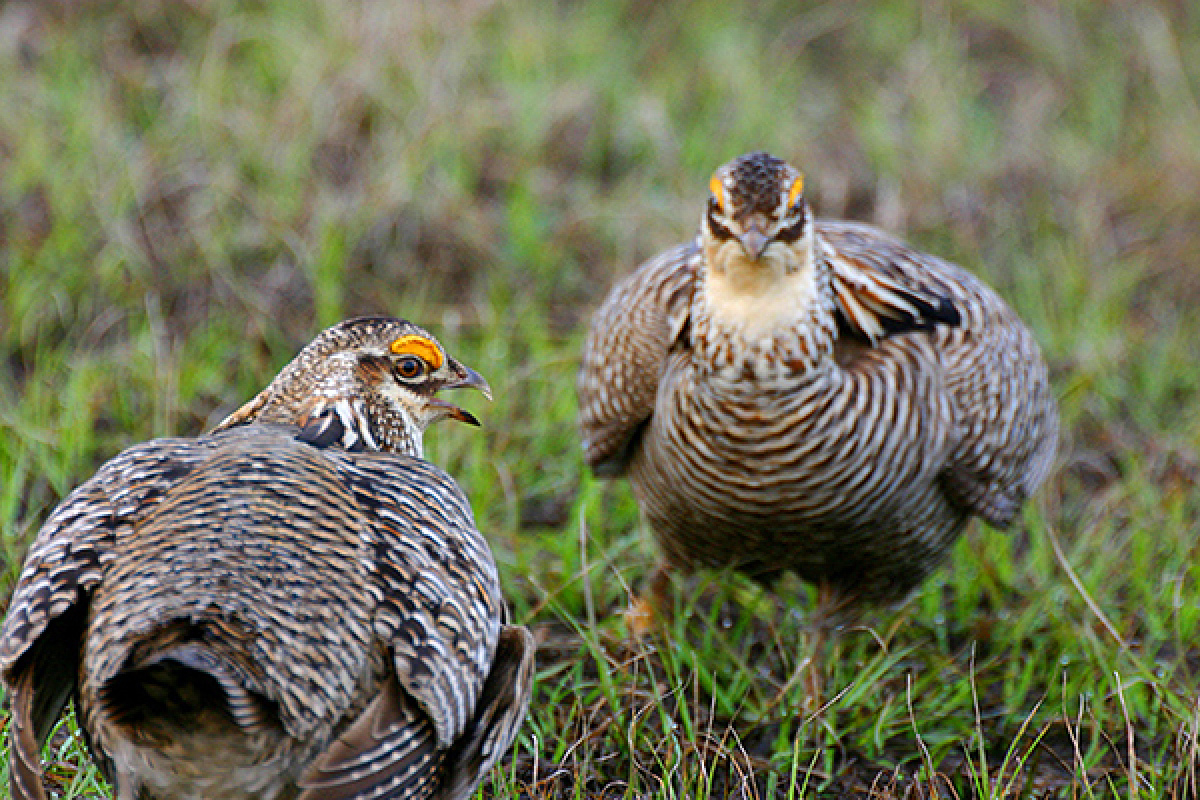 """Male prairie chickens attract females with loud """"booming"""" noises that can be heard miles away. They also perform an elaborate"""