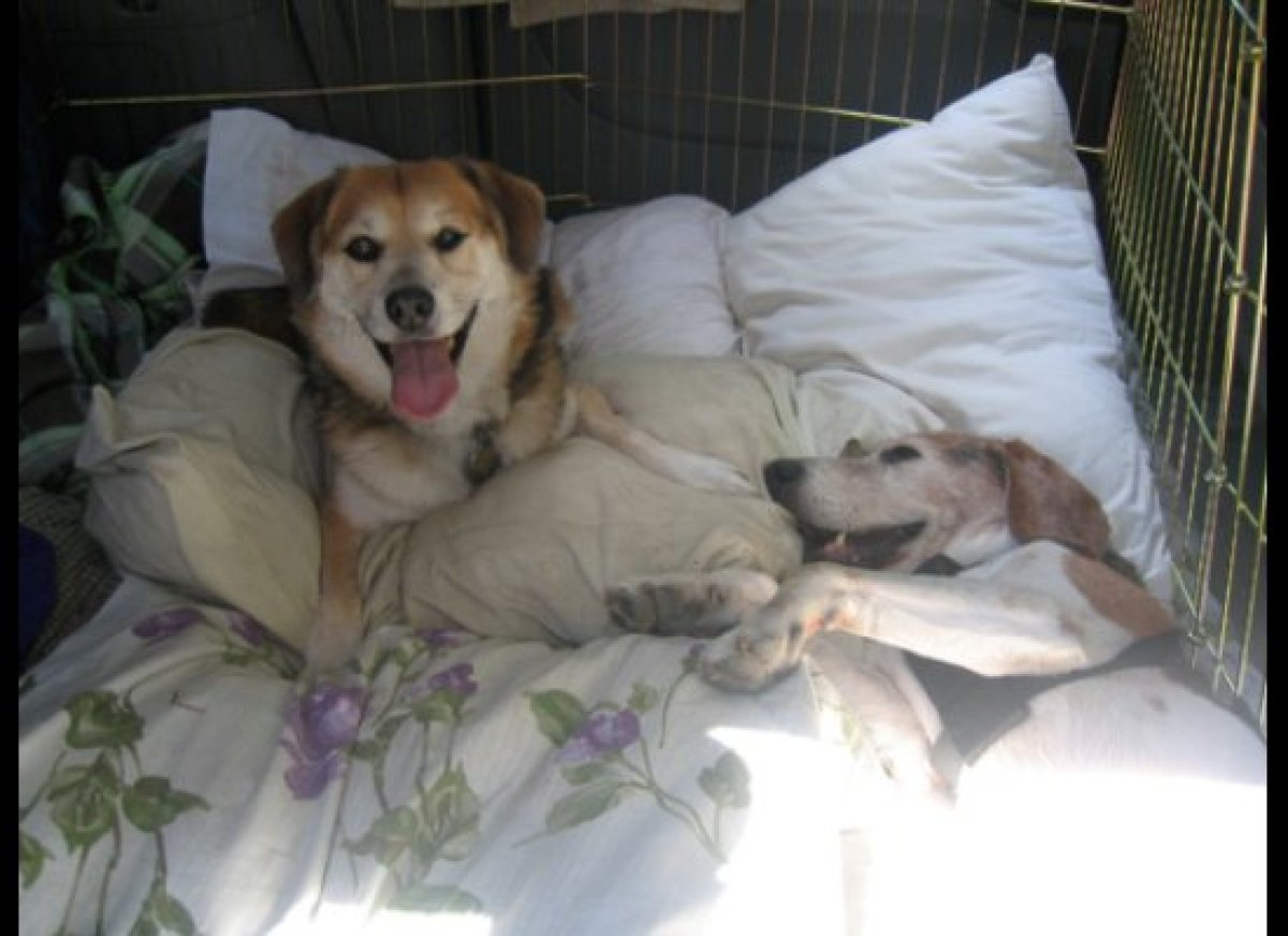 Meet Charlie and Simba -- two stray mutts that we adopted as seniors several years ago. Being around seniors who were abandon