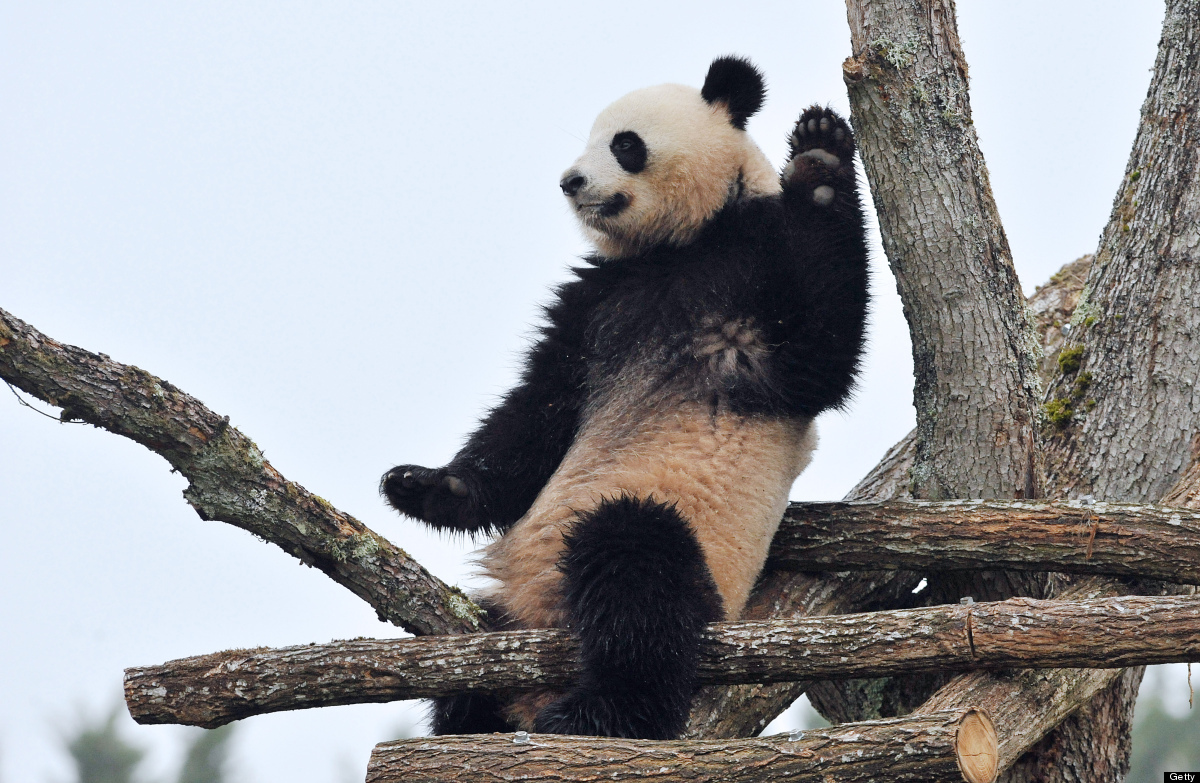<em>From Getty:</em> The female panda Huan-Huan, one of the two giant pandas recently arrived from China, is pictured on Febr