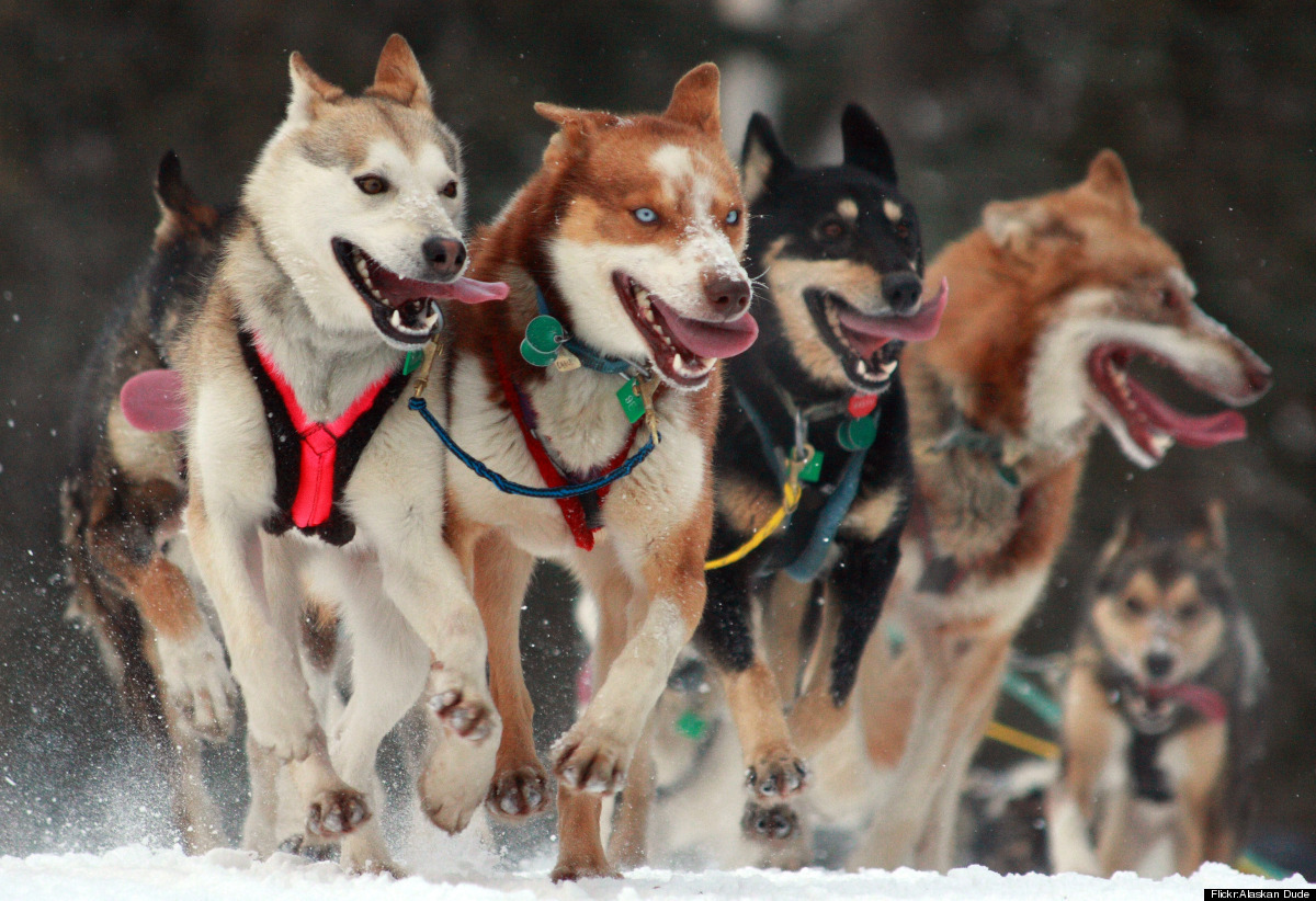 """<strong>Iditarod Trail Sled Dog Race – Anchorage to Nome, Alaska   March 3 </strong>  """"The Last Great Race on Earth,"""" the"""
