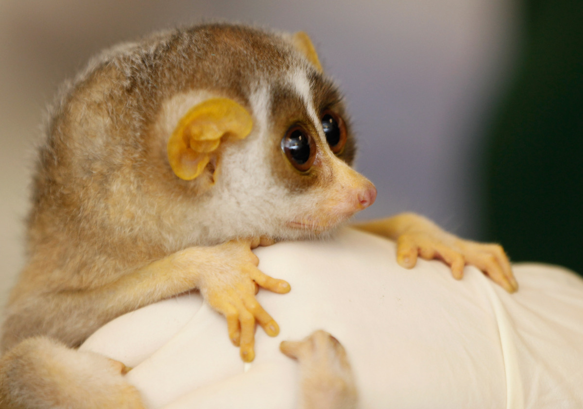 <em>From Getty:</em> LONDON, ENGLAND - JULY 21: A five-month-old female slender loris waits to be given her first health chec