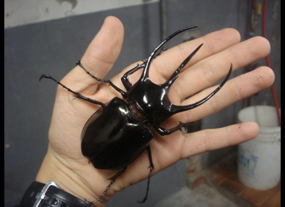 The Atlas beetle (pictured) can push around 850 times its weight.