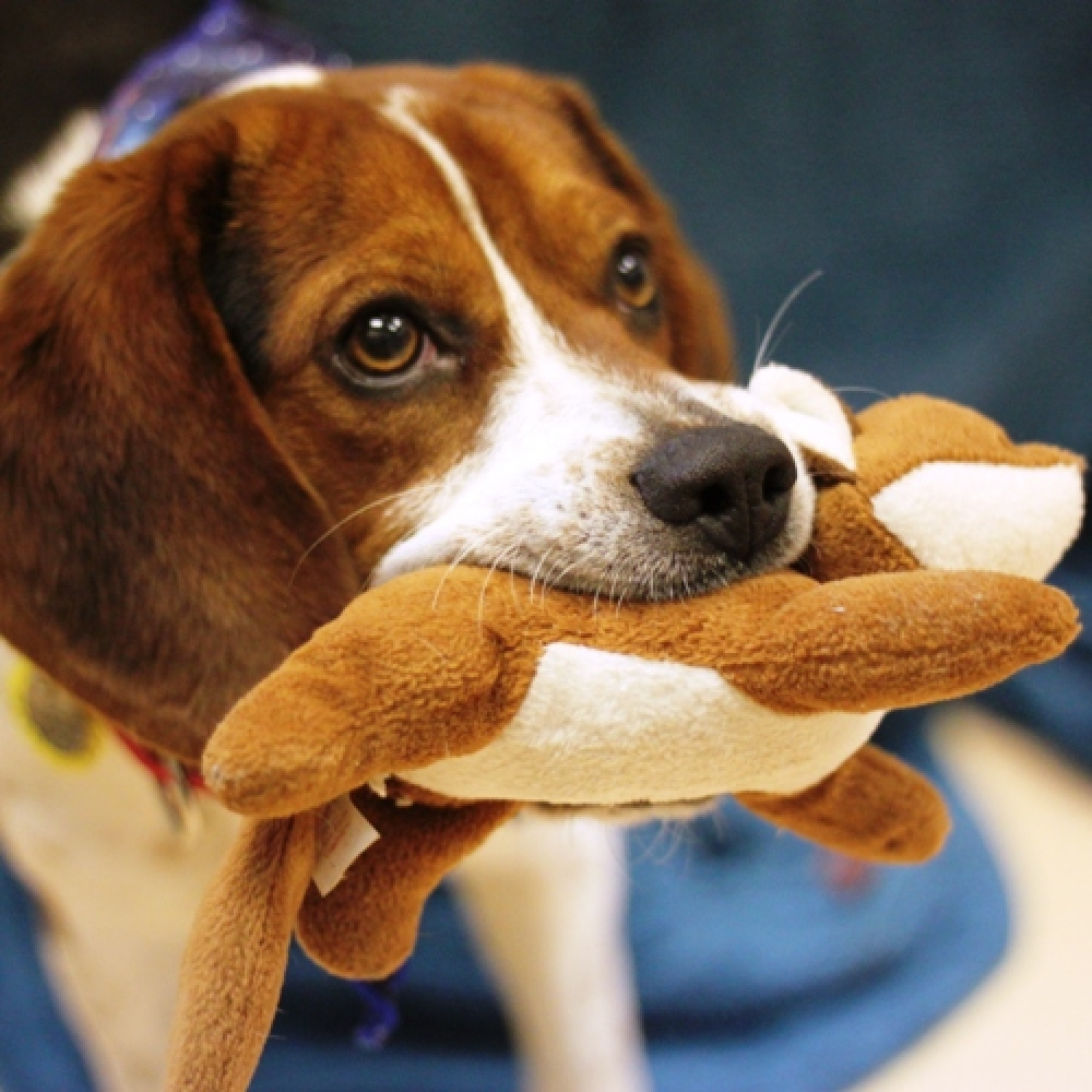 Rowdy is a male 1-year-old Beagle. Visit Rowdy at the Naperville Area Humane Society at 1620 W. Diehl Road in Naperville. <a