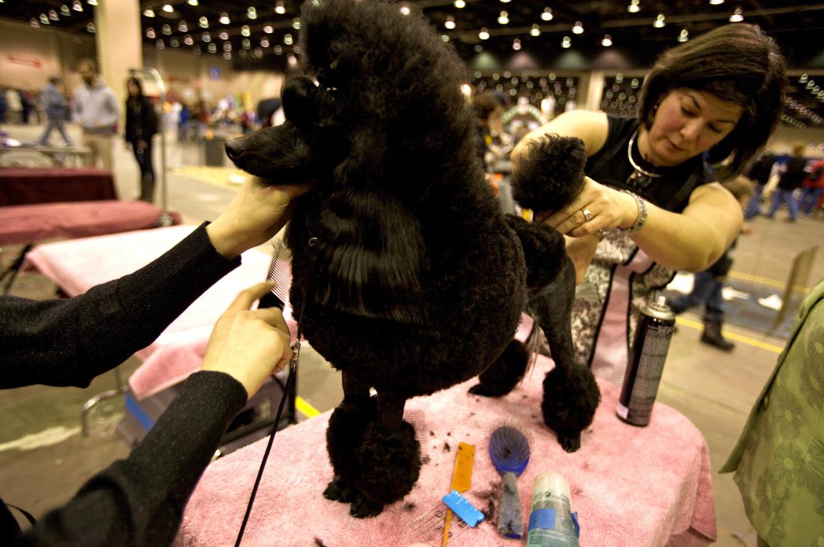 A black poodle gets groomed.