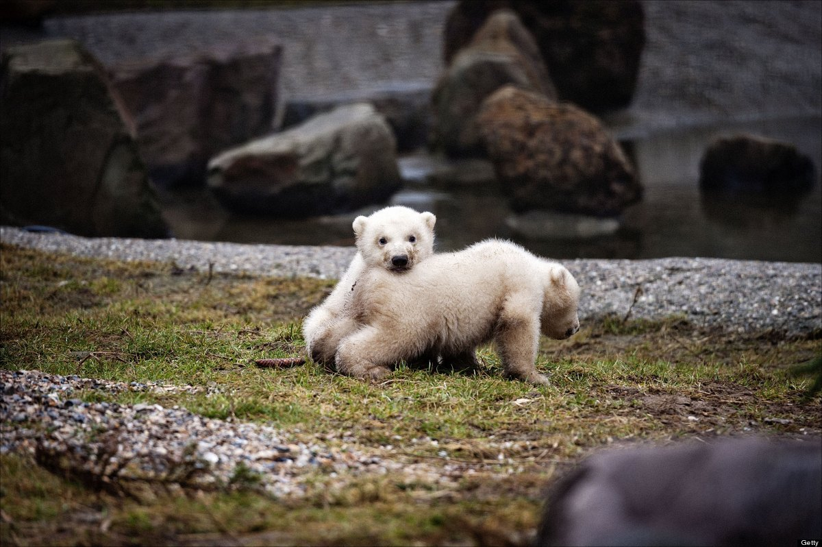 <em>From Getty:</em> Twin polar bears, born three months ago in the Dutch Ouwehands Dierenpark zoo in Rhenen, play on Februar