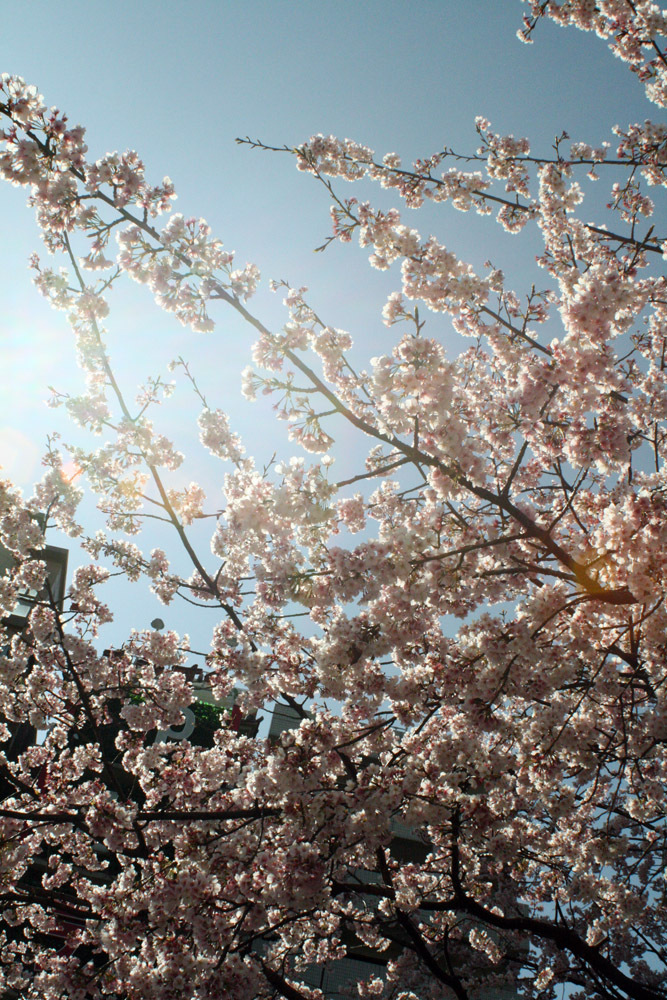 Cherry trees in bloom during Hanami.  <em>Photo: Sarah Ruddy</em>