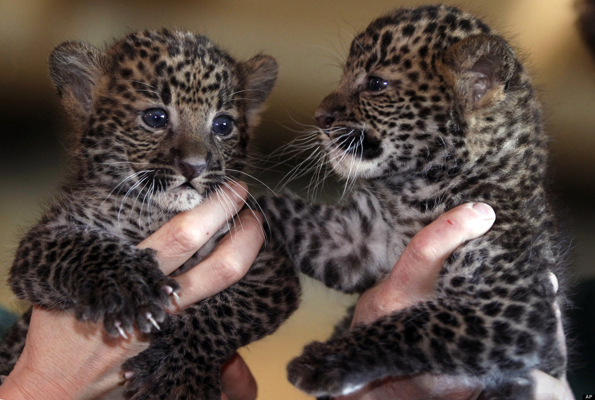 <em>From AP:</em> Seven weeks old Java male leopard Arjuna, left, and female leopard Sri Kandi, are pictured during their off