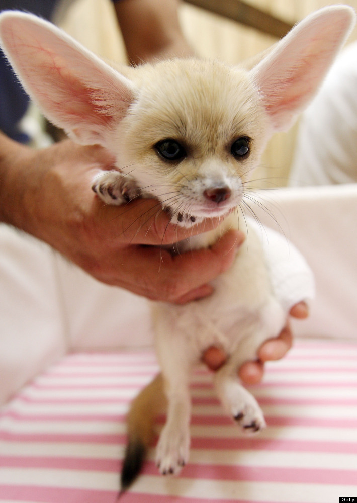 Fennecs, found in the Sahara of North Africa, are known for their distinctively large (and adorable) ears.