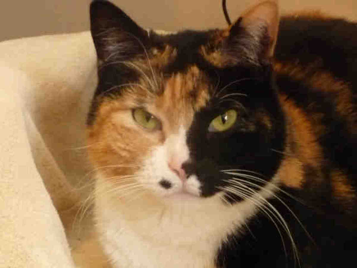 China is a 5-year-old calico-manx mix.  According to DDFL staff, she always uses her litter box and loves to chase string--s