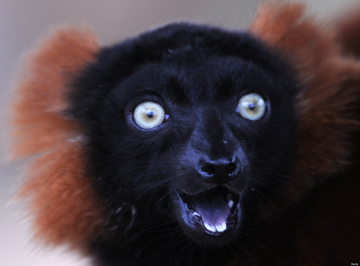 <em>From Getty:</em> A lemur looks up in an enclosure at the 'ZOOM' Zoo in Gelsenkirchen, western Germany on March 12, 2012.