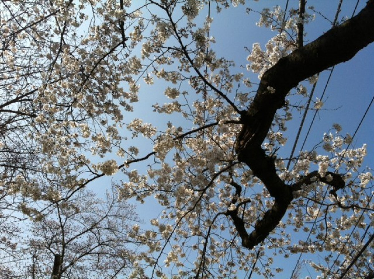 Cherry blossoms in the Kenwood subdivision in Bethesda, Md., on Saturday.