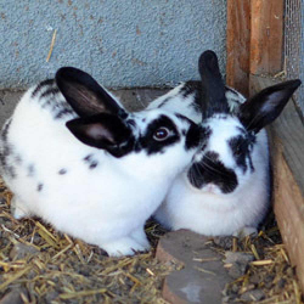 Kate and Pippa are medium size, adult female English Spot rabbits.