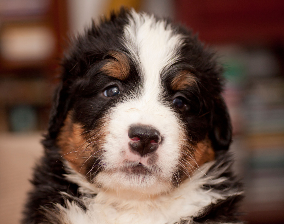 The Bernese Mountain Dog, a larger breed of dog, is known for its fierce loyalty and watchdog tendencies. This puppy is devot