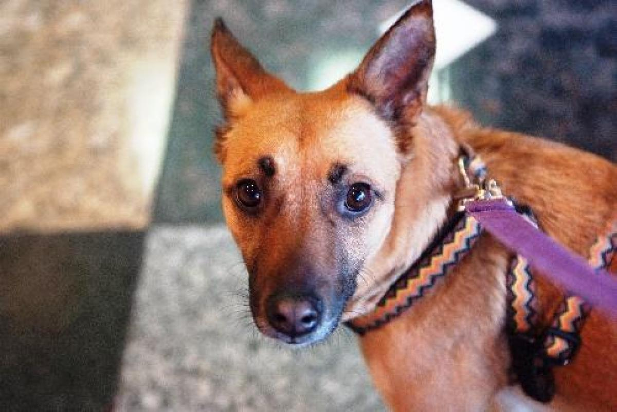 Shanti is a female Shepherd/Cattle Dog Mix. Visit Shanti at the Red Door Animal Shelter, 2410 W. Lunt Ave., Chicago. <a href=