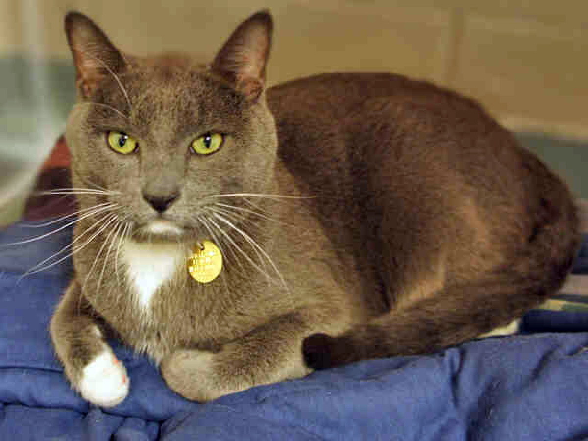 Meet Tommy the lap kitty. He's a 6-year-old neutered male shorthair cat who loves company. He'll nap with you, play hide-and-