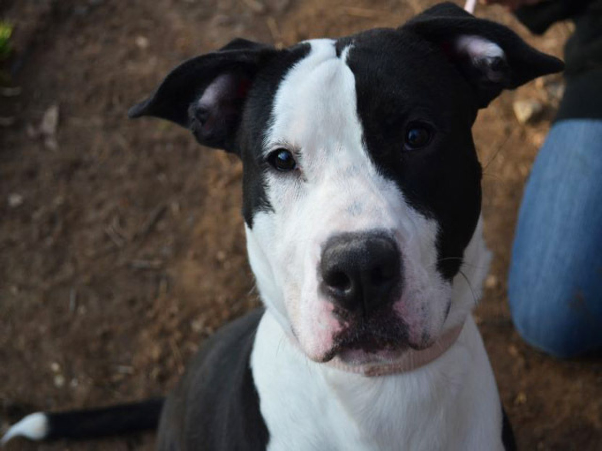 Brady is a friendly and calm 3-year-old Pit Bull Terrier. He is not yet neutered and needs training, but the Montgomery Count