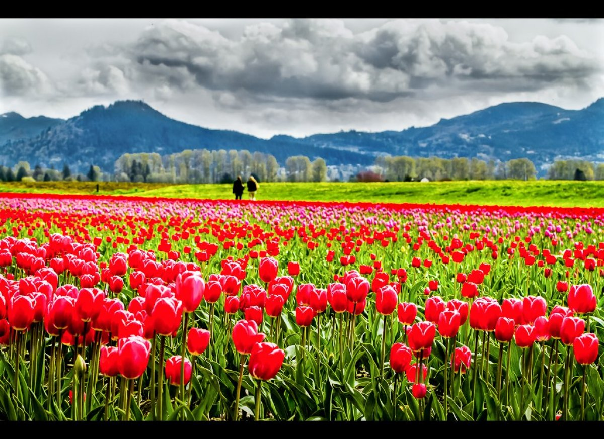 "This <a href=""http://www.tulipfestival.org"" target=""_hplink"">giant open house</a> celebrating the Skagit Valley's most colorf"